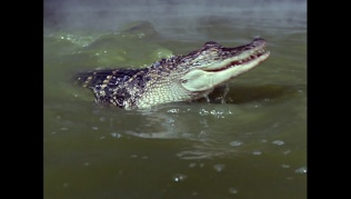 attackofthealligators00668